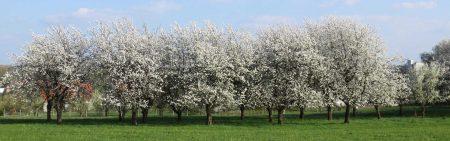 Kirschblüte in Gräfenberg